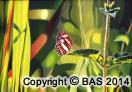 wildlife art,wildlife art paintings,oil painting,bas,art of bas,butterly painting,sumatra,indonesia,kerinci seblat, national park,tiger,sumatran rhino