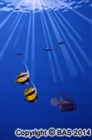 tropical fish painting,tropical fish oil painting,art of bas,BAS,wildlife art,wildlife painting
