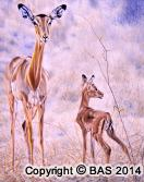 wildlife art,wildlife art paintings,oil painting,bas,art of bas,Impala Oil Painting,canvas,Private Collection,Solomon