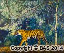 tiger,tiger painting,tiger oil painting,bengal tiger,bandhavgarhg national park,india,bas,artofbas