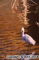 wildlife art,wildlife art paintings,oil painting,bas,art of bas,canvas,Egret Oil Painting,Snowy in Still Waters,Private Collection