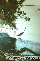 wildlife art,wildlife art paintings,oil painting,bas,art of bas,egret painting,florida,oil painting on canvas,lord byron,private collection,